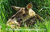 Roe Deer (Capreolus capreolus), fawn 2 days old. Surrey, UK