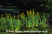 Yellow flag iris (Iris pseudacorus), Dorset UK