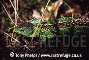 Sand lizard (Lacerta agilis), male in spring, Purbeck, Dorset, UK