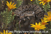 Southern adder, Bitis armata. DeHoop NR, Western Cape, South Africa.