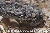 Southern Adder, Bitis armata. DeHoop NR. Western Cape, South Africa.