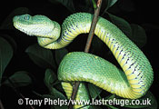 Western Bush Viper, Atheris chlorechis. female from Togo.