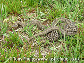 Smooth snake, Coronella austriaca, female, and adder, male,Vipera berus, basking together. Purbeck, Dorset, UK.