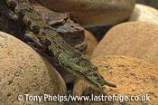 Tentacled snake, Erpeton tentaculatum. Captive, native to S E Asia.