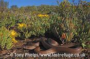 House snake, Lamprophis capensis. female in fynbos habitat, Little Karoo, South Africa.