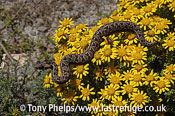 Southern adder, Bitis armata. Juvenile male basking on flowers. DeHoop NR, Western Cape, South Africa.