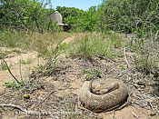 Puff adder, Bitis arietans. Lying by path, KwaZuluNatal. South Africa.