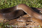 Brown house snake, Lamprophis capensis, Little Karoo, South Africa.