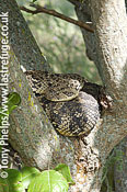 Puff adder, Bitis arietans. Adult female in tree. Nr Cape Town, South Africa.