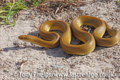 Aurora house snake, Lamprophis aurora. Nr Cape Town, South Africa.