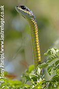 Boomslang (male), Dispholidus typus. Western Cape, South Africa.