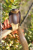 Cape Cobra, Naja nivea. Juvenile in Protea bush. Western cape, South Africa.