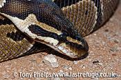 Ball Python, Python regius. Captive, native W.Africa.