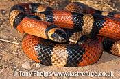 Peuoblan milk snake, Lampropeltis triangulaum. Captive, native to Mexico.