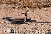 Mozambique spitting, Cobra, Naja mossambica. KwaZuluNatal, South Africa.