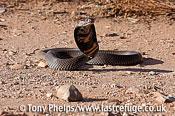 Mozambique spitting cobra, Naja mossambica. KwaZuluNatal, South Africa.