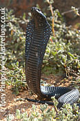 Black spitting cobra, Naja nigricincta woodi. Springbok, Namaqualand, South Africa.