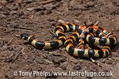 Harlequin snake, Homeroselaps lacteus. DeHoop NR, Western Cape, South Africa.
