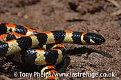 Spotted Harlequin snake, Homeroselaps lacteus. DeHoop NR, Western Cape, South Africa.