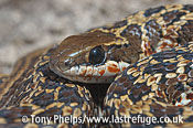 Rhombic Skaapstecker, Psammophylax rhombeatus. DeHoop NR, Western Cape, South Africa.