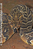 Puff adder, Bitis arietans. Little Karoo, South Africa.