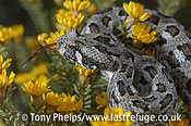 Southern Adder, Bitis armata. female in yellow flowers. DeHoop NR, Western Cape, South Africa.