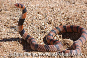 Coral snake, Aspedilaps lubricus. Namaqualand, South Africa.