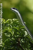Boomslang, Dispholidus typus. Adult female, Western Cape, South Africa.