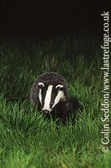 Badger (Meles meles), Somerset, UK
