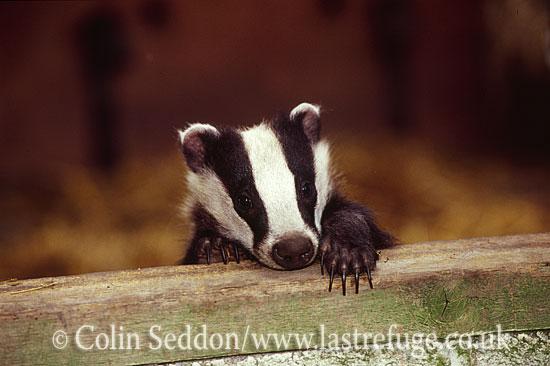 Badger (Meles meles) cub in wildlife rescue centre, Somerset, UK