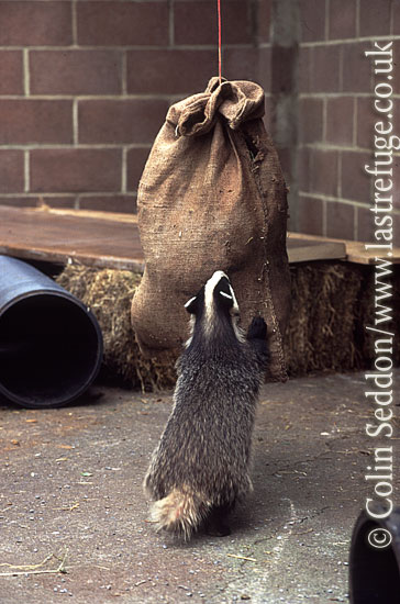 Badger (Meles meles) cub in wildlife rescue centre, Somerset, UK