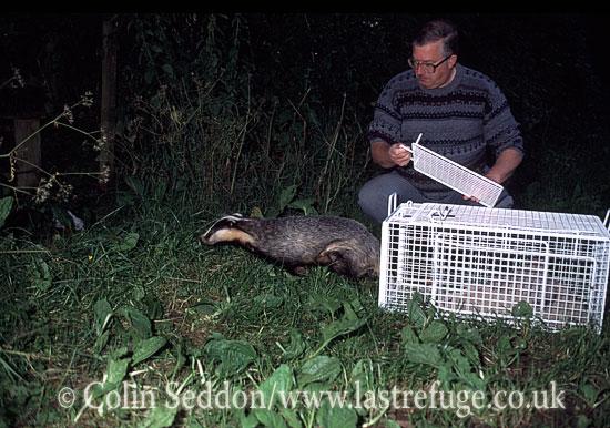 Badger (Meles meles) released into the wild, Somerset, UK