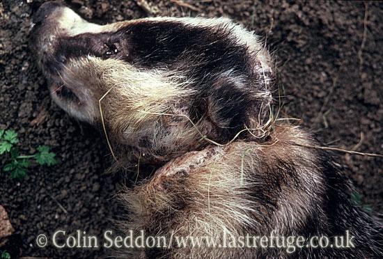 Snared dead Badger (Meles meles), Somerset, UK