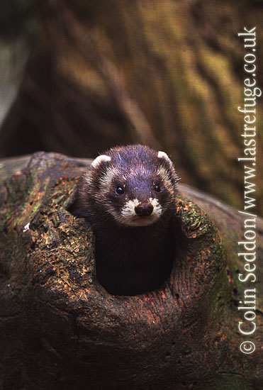 European Polecat (Mustela putorius), also known as a Fitch, UK