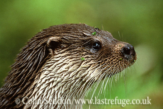Eurasian Otter (Lutra lutra) - portrait, UK