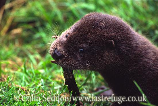 Eurasian Otter (Lutra lutra) - feeding, UK