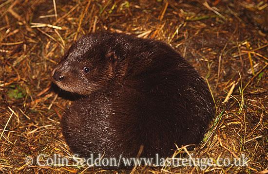 European Mink (Mustela lutreola), UK