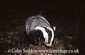 Badger (Meles meles), Somerset, UK