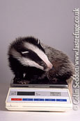 Badger (Meles meles) in wildlife rescue centre, Somerset, UK