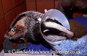 Badger (Meles meles) injured and being treated in a wildlife rescue centre, Somerset, UK