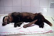 Badger (Meles meles) snared and being treated in a wildlife rescue centre, Somerset, UK