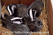 Badger (Meles meles) cubs in wildlife rescue centre, Somerset, UK