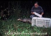 Badger (Meles meles) released into the wild, Somerset, UK