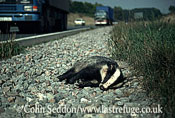 Dead Badger (Meles meles) hit by car , Somerset, UK