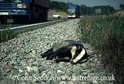 Dead Badger (Meles meles) hit by car , Somerset, UK