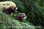 European Polecats (Mustela putorius), UK