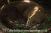 Eurasian Otter (Lutra lutra), UK
