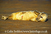 Grey Seal (Halichoerus grypus) pup, Lincolnshire, UK