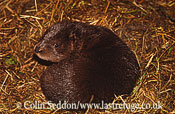 European Mink (Mustela lutreola), UK