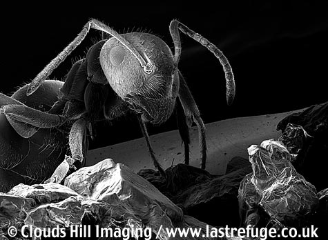 Black garden ant (Lasius niger) with sugar